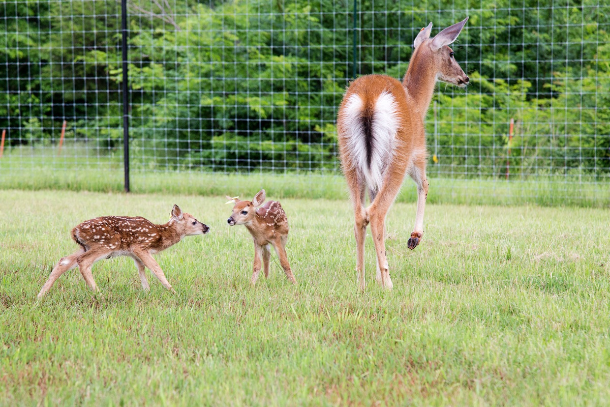 white-tailed deer fawn stillwater oklahoma