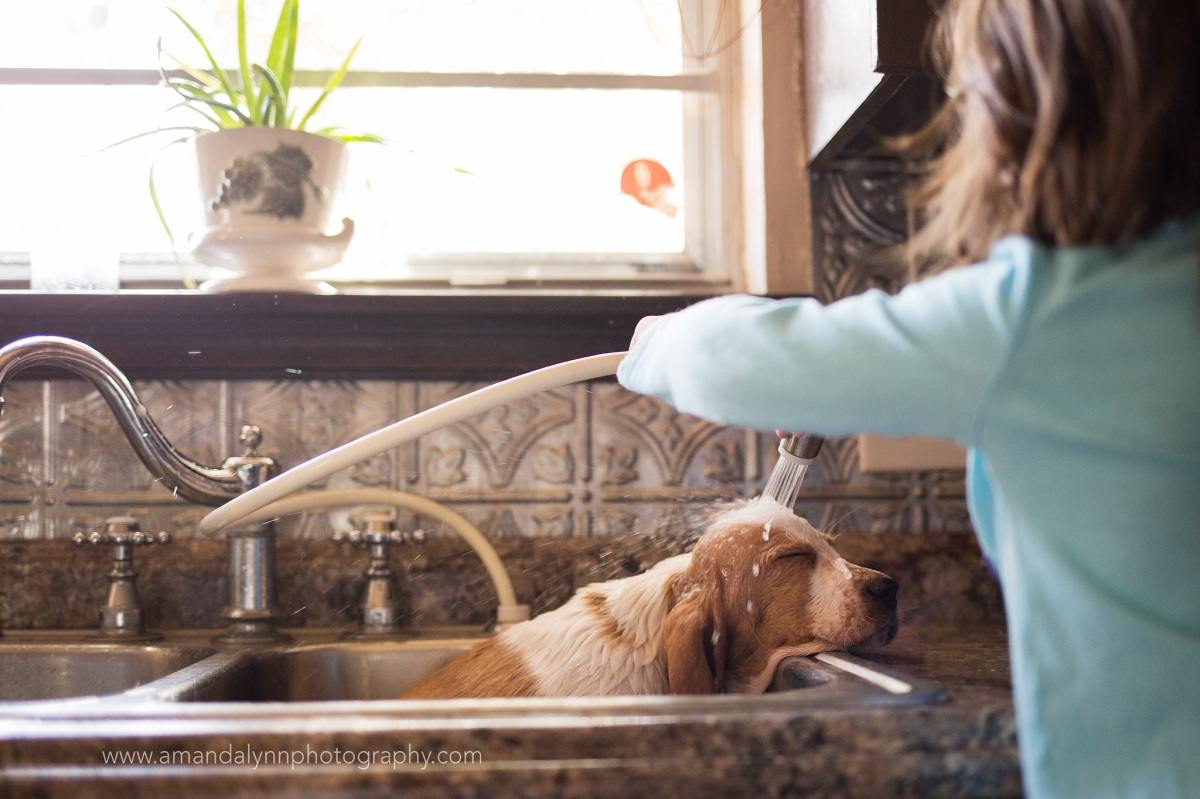 Basset Hound puppy gets bath in kitchen sink in harrah oklahoma