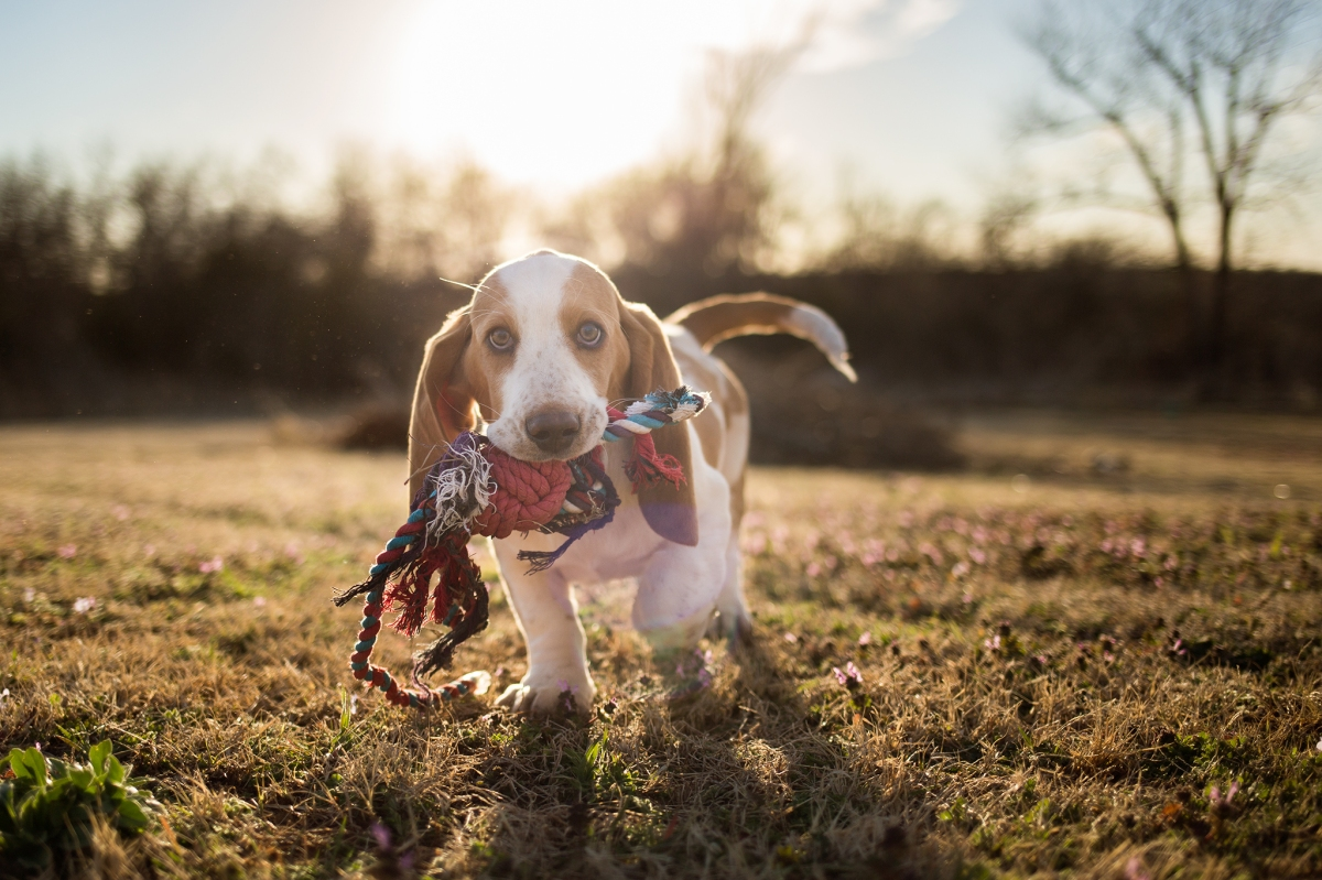 Gibbs the Basset Hound puppy plays fetch in Harrah Oklahoma